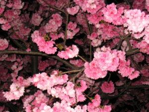 CherryBlossen
